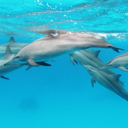 A_pod_of_spinner_dolphins_in_the_Red_Sea