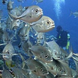 Diver and bigeye trevally school