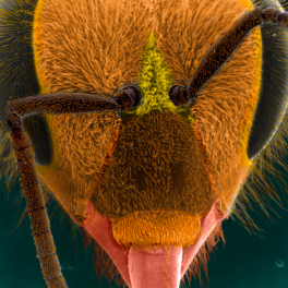 Electron microscope image of bee head