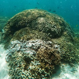 AP file photo of Kane'ohe bleached coral