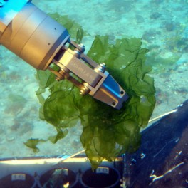 Image of HURL submerisble collecting deep-water algae.