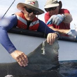 Carl Meyer, left, and Kim Holland tagging a tiger shark.