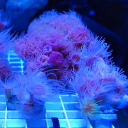 Image of coral being grown in tanks