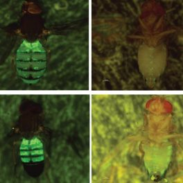 The wax-producing cells of Drosophila have been genetically labeled with a green fluorescent marker, allowing the cells to be visualized in live flies. (credit: Yin Ning Chiang and Joanne Yew)