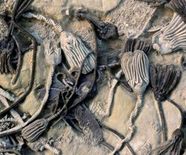 Fossil crinoids. Credit: Photo by William Ausich, courtesy of Ohio State University (via NSF)