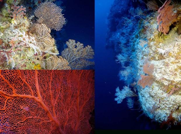 Image of Gorgonian (sea fan) corals