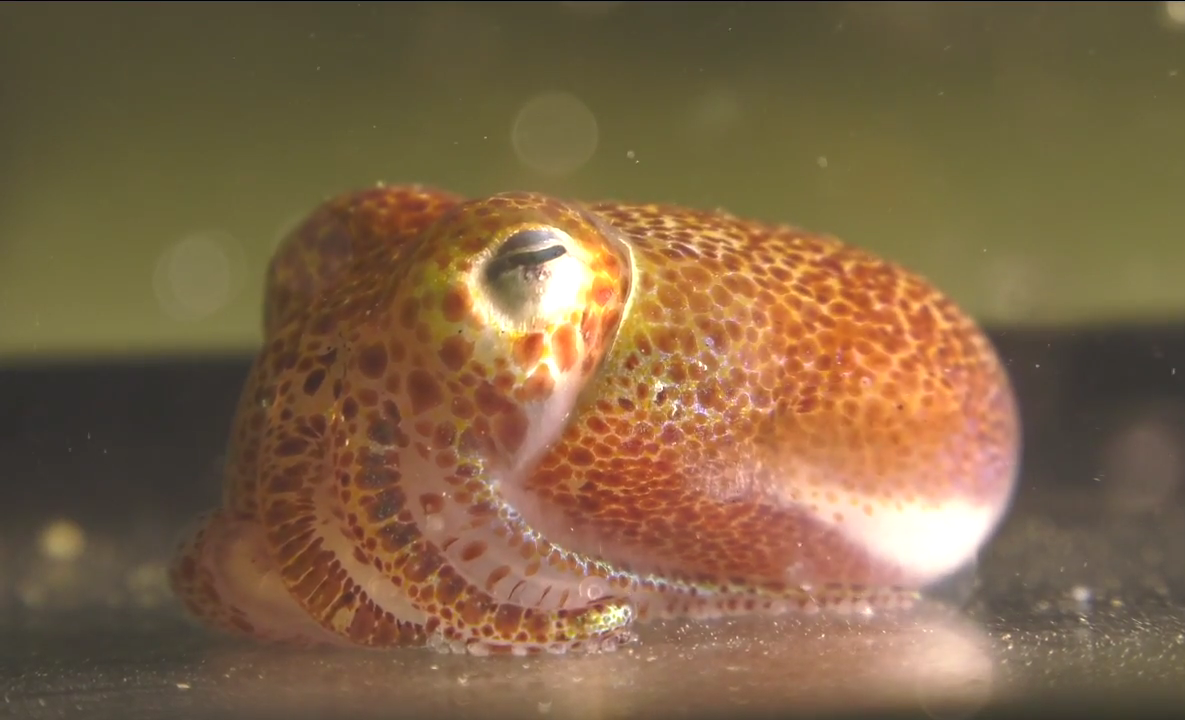 Hawaiian bobtail squid i
