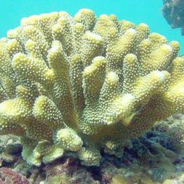 Image of healthy coral in Hanalei