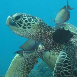 Image of green sea turtle and reef fish