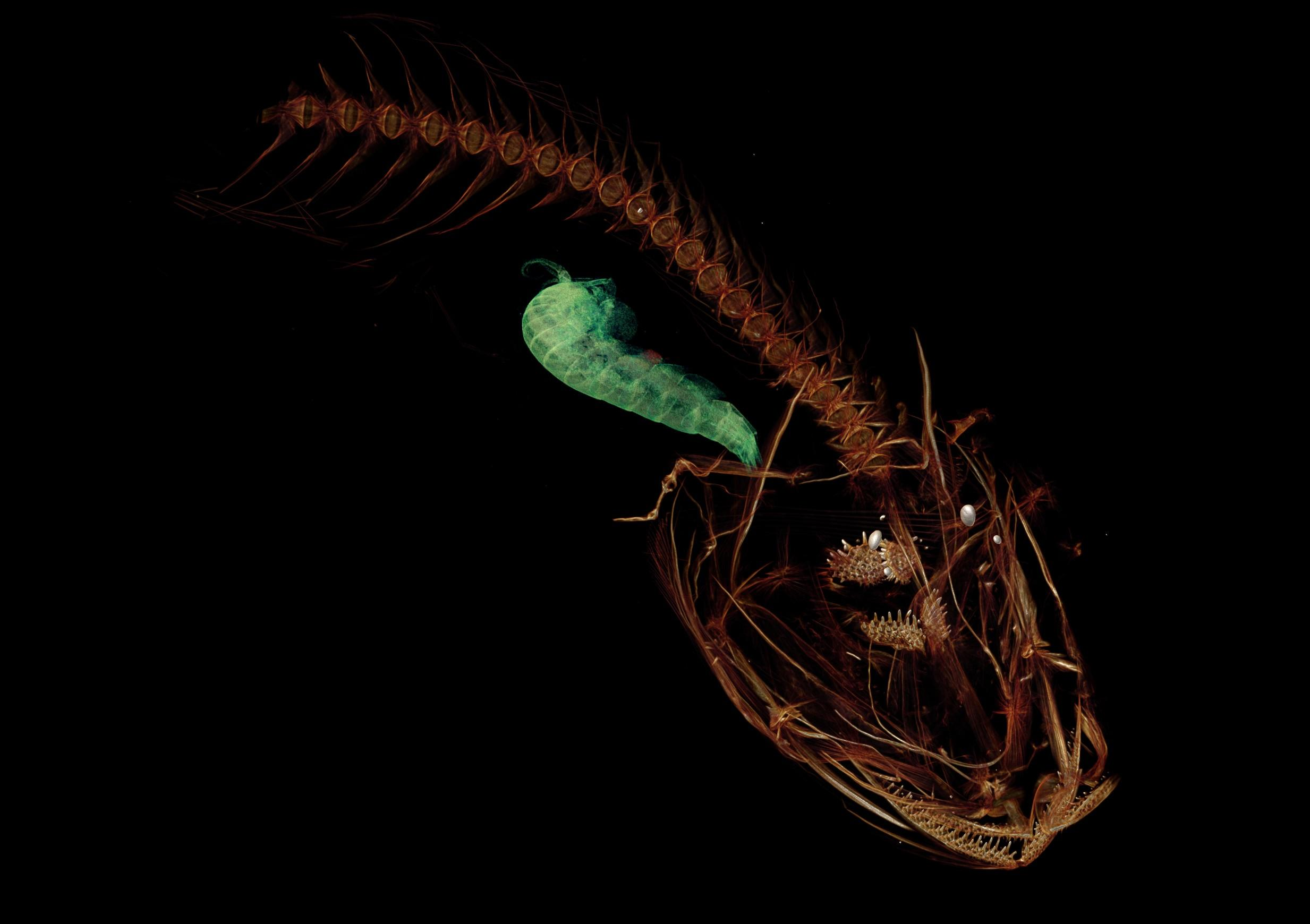 A CT scan of the Mariana snailfish.