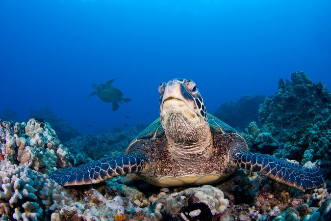 Image of a green sea turtle on a Hawaii reef