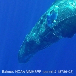 Image of humpback whale engaled in lines and buoys