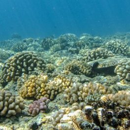 Coral reef in French Polynesia, rebounded from catastrophic damage in 2010. Credit: Peter Edmunds.