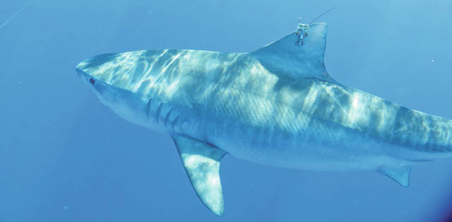 Image of tiger shark in the Hawaiian Islands with a dorsal fin tag