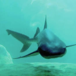 Image of shark moving through the tunnels off the coast of Kaua'i.