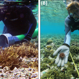 Divers using Super Sucker (left) and outplanting urchins (right). Credit: DLNR/DAR.
