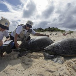Lindsey Bull and Marylou Staman measure the length of a female green sea turtle basking on Tern Island (NOAA Fisheries).