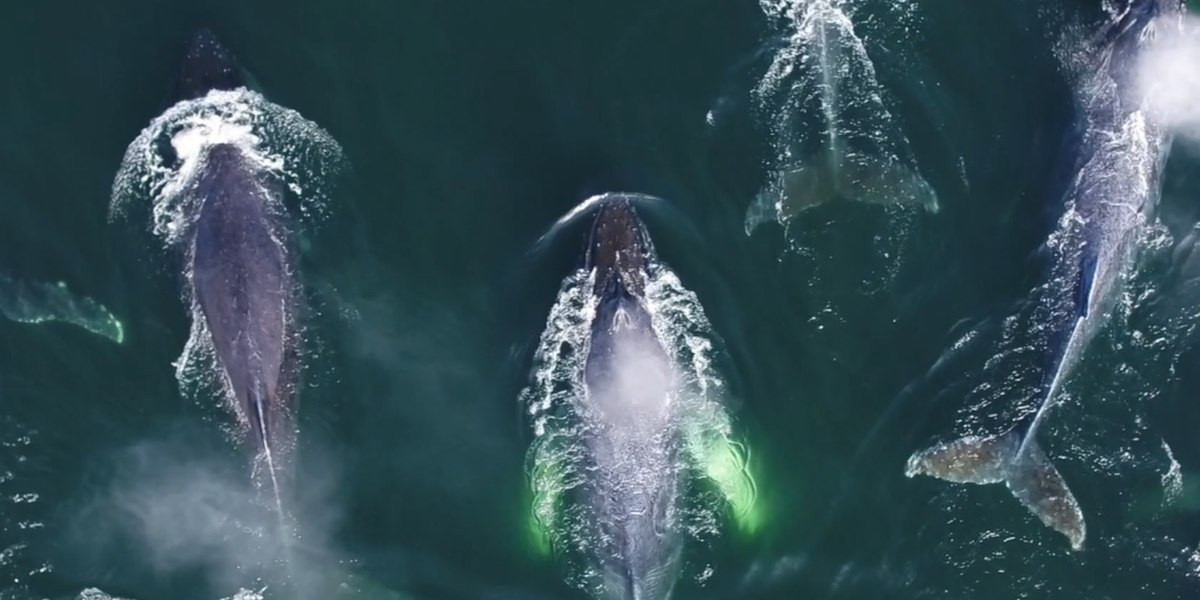 Amazing drone footage captures video of humpback whales.