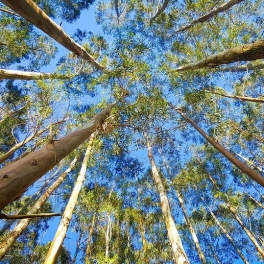 Image of Eucalyptus trees