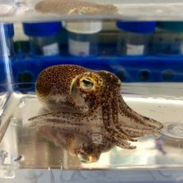 image of a bobtail squid