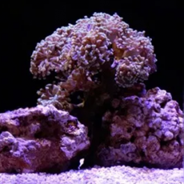 Image of Branching hammer coral (Euphyllia paraancora)