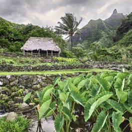 Biocultural restoration in Limahuli Valley, Hāʻena, Kauaʻi (Photo credit: Kim S. Rogers)