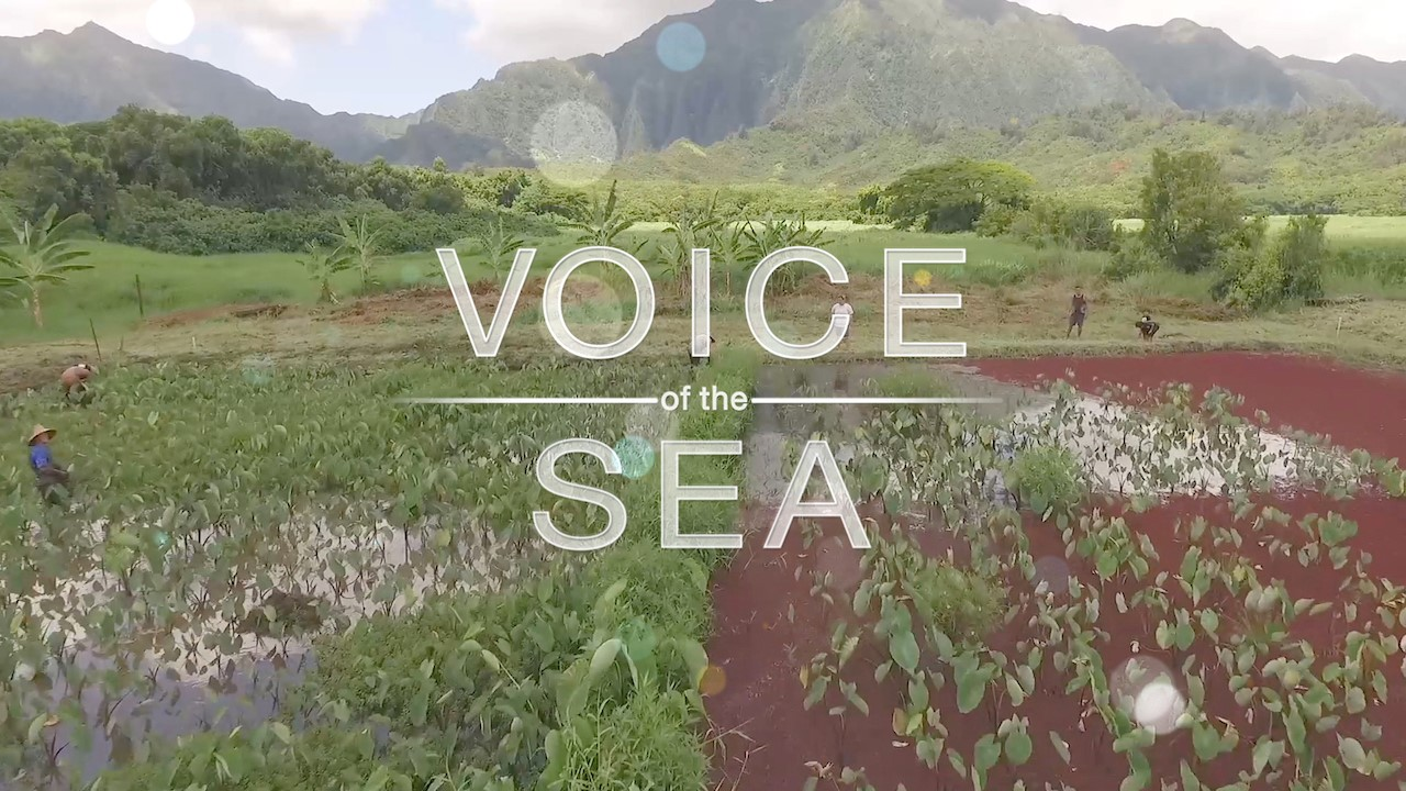 Voice of the Sea title superimposed on kalo (taro) field