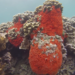 The sponge Mycale grandis overgrowing coral on the reef in Kāneʻohe Bay. Credit: Joy Leilei Shih