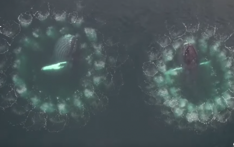 Drone image of humpback whales bubblenets. Credit: University of Hawaii at Manoa, Permit Number: NOAA #19703