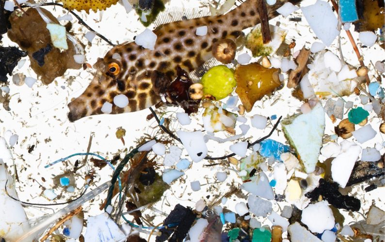 A scribbled filefish in a sea of plastics sampled in surface slicks off Hawai'i Island. Photograph courtesy of David Liittschwager.