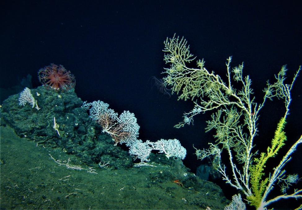Deep-water coral community off the Big Island of Hawaii. Credit: UH Hawaii Undersea Research Laboratory.