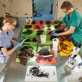 Marine Mammal Stranding Lab scientists sorting marine debris and squid beaks recovered from the stomach of a stranded pilot whale.