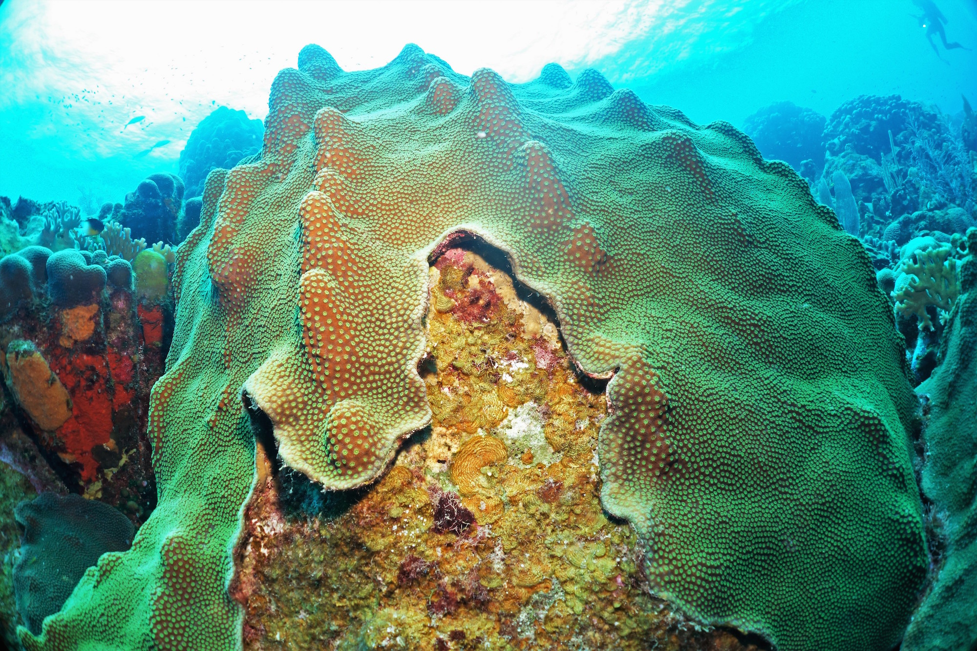 Competition between coral and algae on a reef is mediated by the interaction between all of their associated viruses, bacteria and biochemicals. Hard coral is being overtaken by turf algae. Credit: Ty Roach.