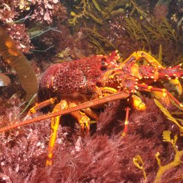 A carnivorous lobster (Jasus edwardsii) within a kelp and other macroalgal-dominated habitat on one of Australia's many southerly, temperate reefs.