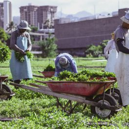 Sumida Farm employees hand plant, harvest, and prepare watercress for market in much the same way they have for more than 90 years. Buildings of urban Honolulu in background