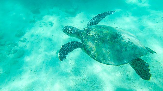 Turtle swimming underwater. Photo credit: Hawaiʻi Institute of Marine Biology