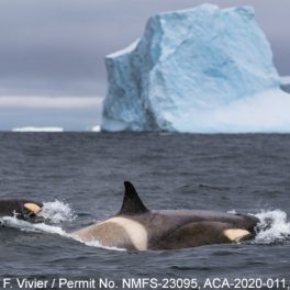whales surfacing in Antarctica with and icebergs in background