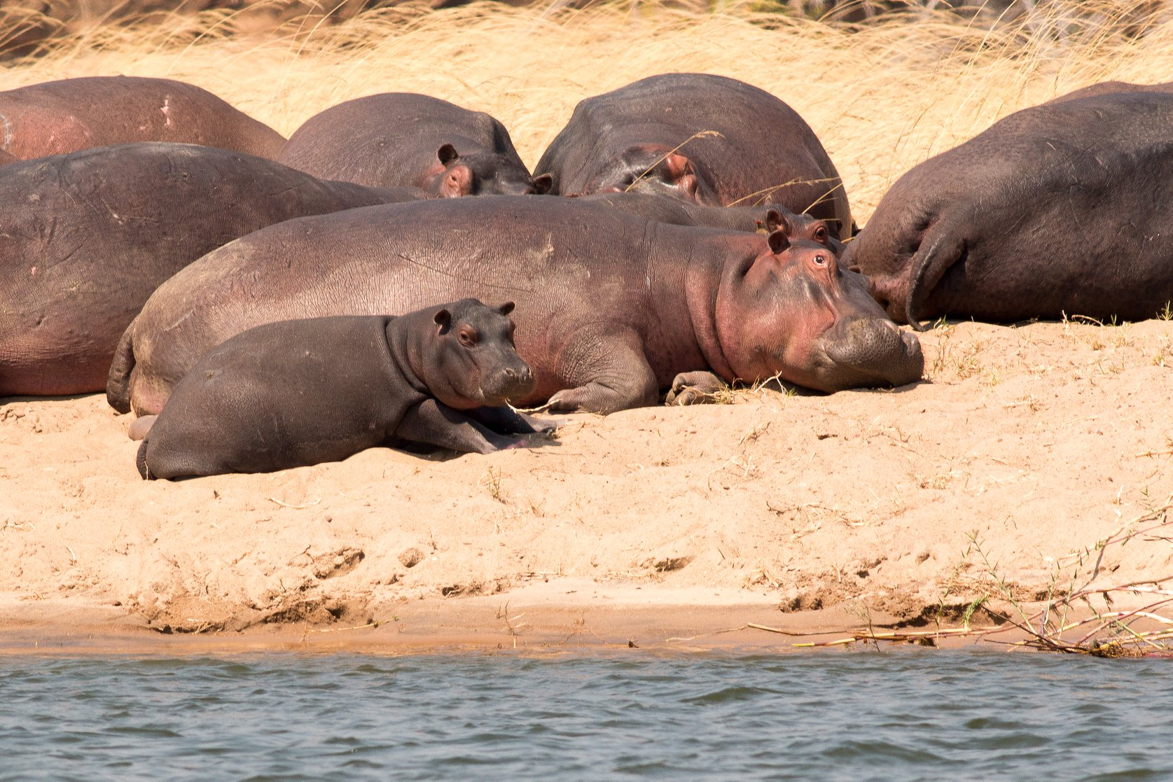 Hippos, one of many threatened species of herbivores, rest on the protected shores of the Zambezi River in Mana Pools National Park in Zimbabwe. (Photo credit: Edd Hammill)
