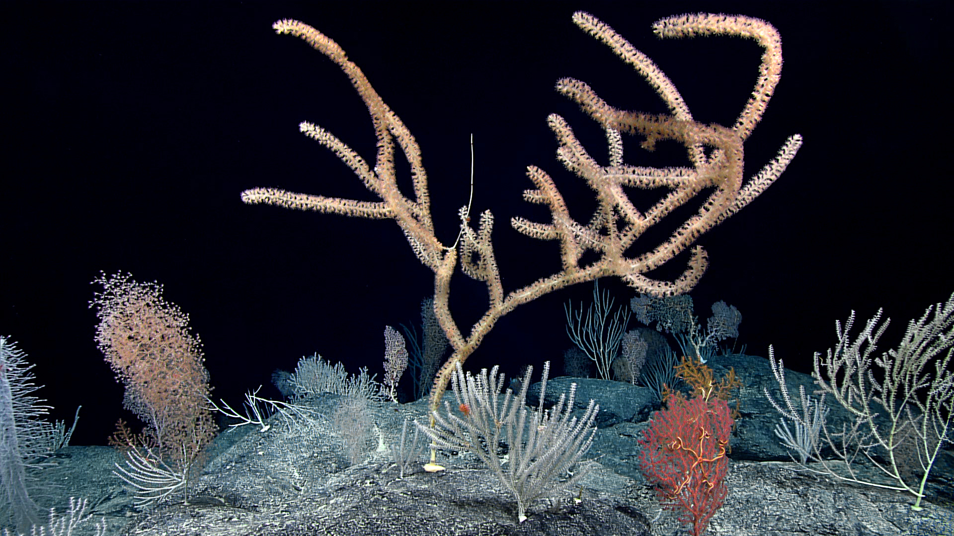 A diverse, dense coral community was present throughout the dive at Debussy Seamount. Several colonies were very large, indicating a stable environment for many years. Credit: NOAA OER