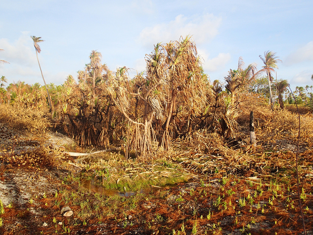 Dry plants during 2013 drought in Ailuk Atoll, Marshall Islands.