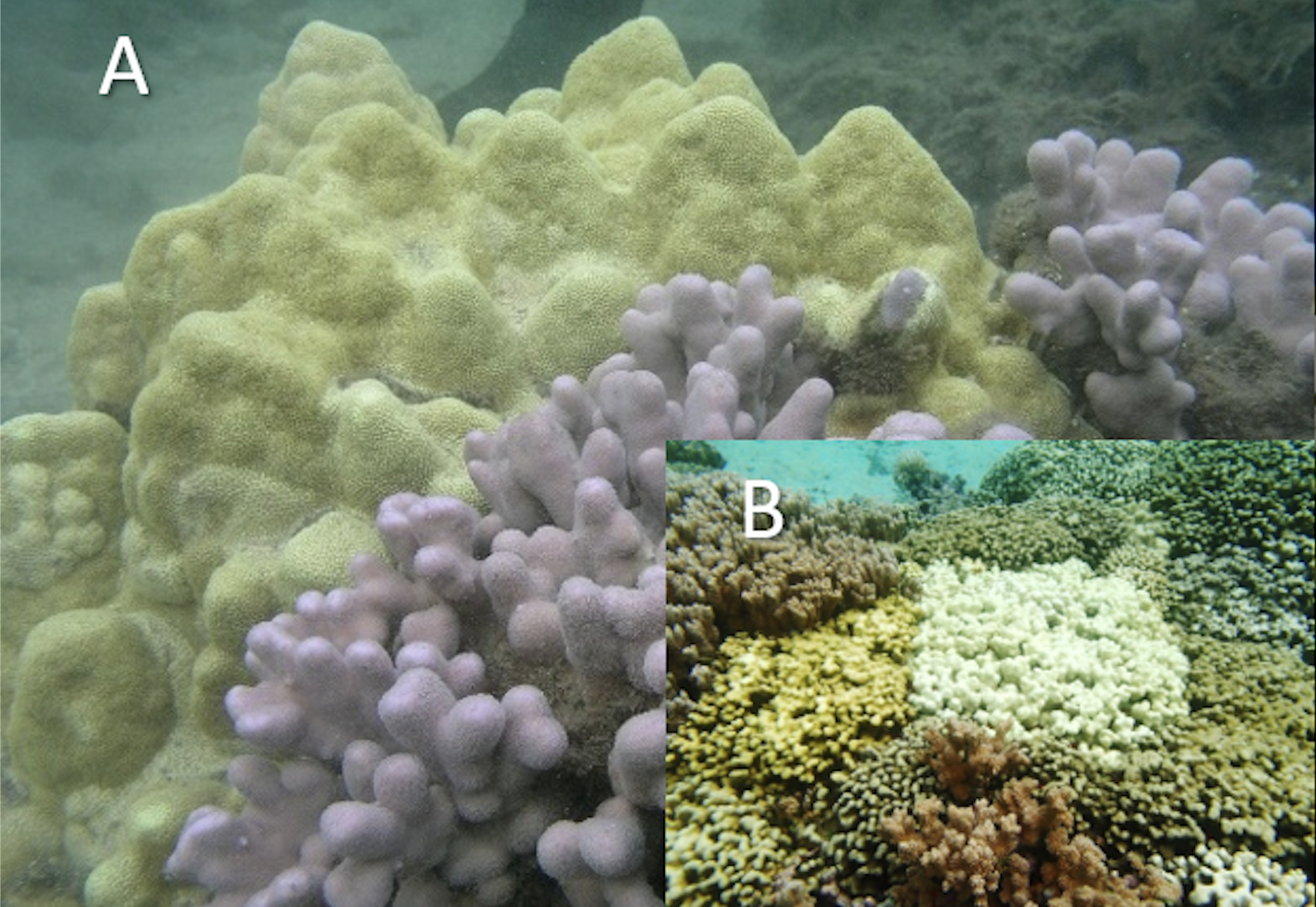 Yellow and blue-grey Porites coral; bleached coral adjacent to various colors of coral