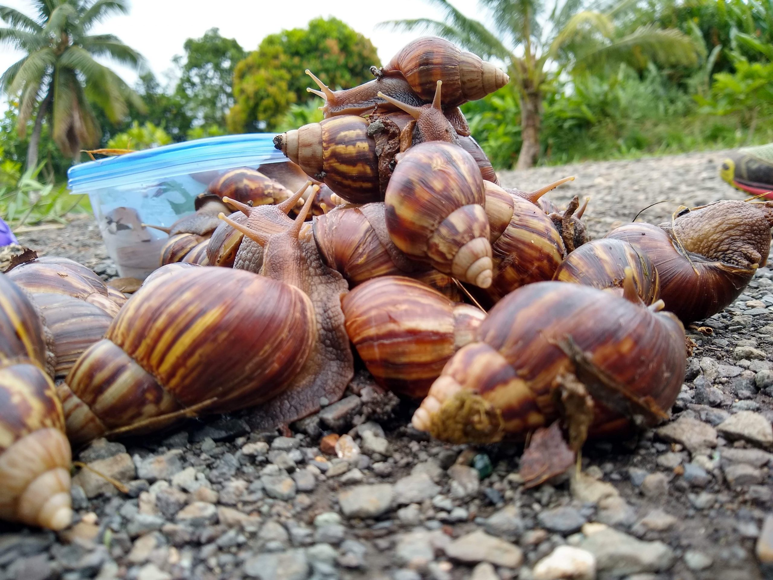 Mountain of giant African snails, He'eia, O'ahu; nearly 30% infected in the recent study.