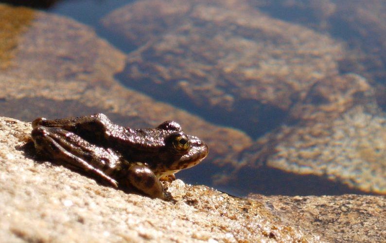 Healthy-looking frog in Sierra Nevada, California.